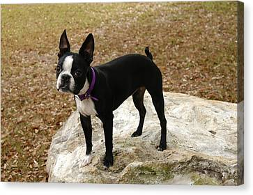 Boston Terrier On The Rock Canvas Print by Donald Williams