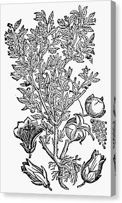 Botany Belladonna, 1744 Canvas Print by Granger