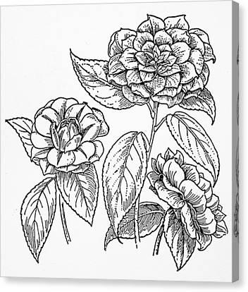 Camellia Canvas Print - Botany Camellia by Granger