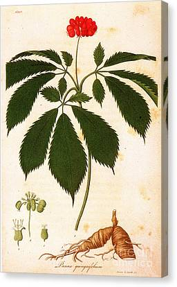Botany: Ginseng Canvas Print by Granger