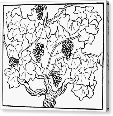 Botany Grapes, 1910 Canvas Print