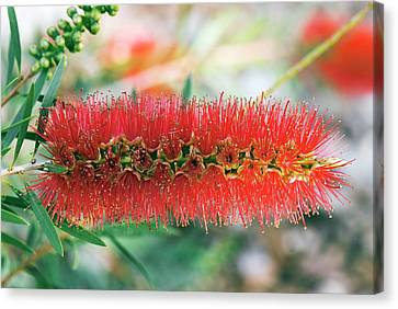 Bottlebrush (callistemon Viminalis) Canvas Print by Adrian Thomas