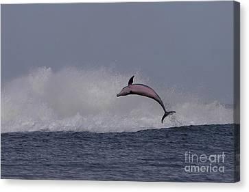 Bottlenose Dolphin Photo Canvas Print by Meg Rousher