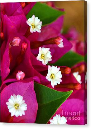 Canvas Print featuring the photograph Bougainvillea- Fuschia by Darla Wood