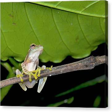 Boulenger's Tree Frog Canvas Print by K Jayaram