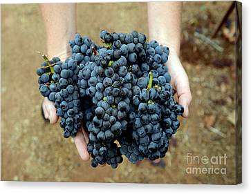 Bountiful Harvest Canvas Print by Jon Neidert