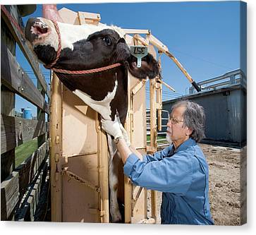 Bovine Prion Disease Research Canvas Print by Stephen Ausmus/us Department Of Agriculture