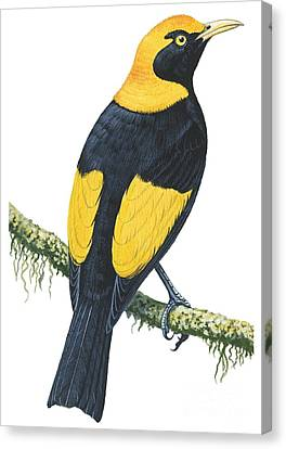Bowerbird  Canvas Print by Anonymous