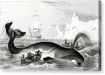 Bowhead Whale Being Hunted Canvas Print by Collection Abecasis