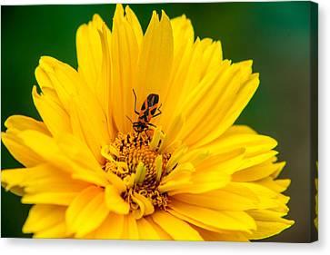 Box Elder Bug Feeding Canvas Print by Douglas Barnett