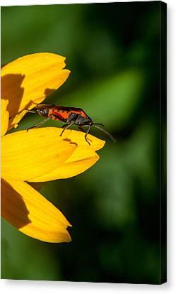 Box Elder Bug Reasting On A Petal Canvas Print by Douglas Barnett