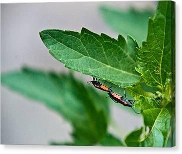 Box Elder Bugs Mating 1 Canvas Print by Douglas Barnett