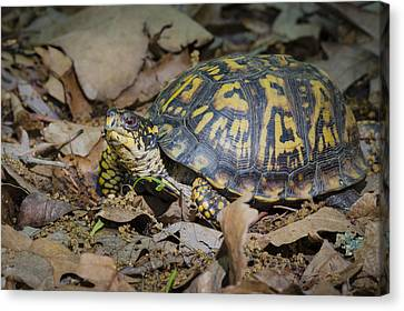 Box Turtle Sunning Canvas Print by Bradley Clay