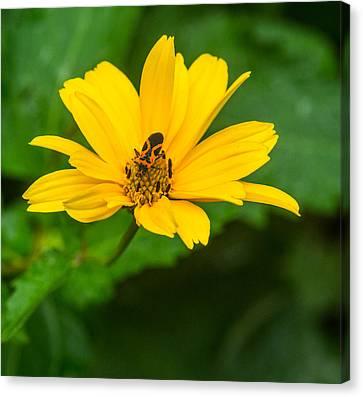 Boxelder Bug Feeding On Pollen Canvas Print by Douglas Barnett