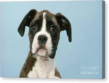 Boxer Dog, Close-up Of Head Canvas Print by John Daniels