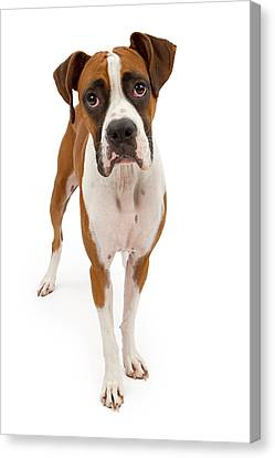 Boxer Dog Isolated On White Canvas Print by Susan Schmitz