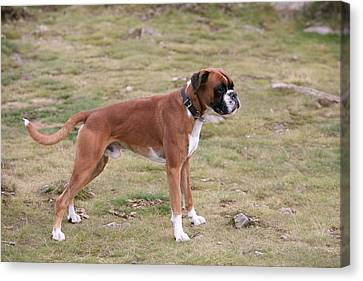 Boxer Dog Canvas Print by Mark Severn