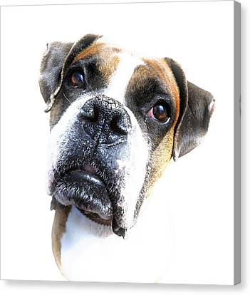 Boxer Expression Canvas Print by Susan Leggett