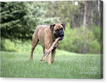 Boxer Playing With Stick Canvas Print