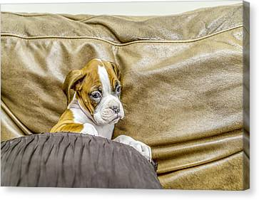 Boxer Puppy On Couch Canvas Print by Tony Moran