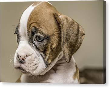 Boxer Puppy Canvas Print by Tony Moran