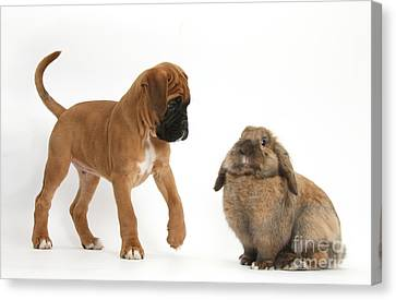 Boxer Puppy With Lionhead-lop Rabbit Canvas Print by Mark Taylor