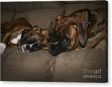 Boxers At Rest Canvas Print by Suzi Nelson