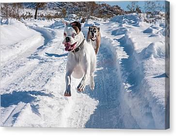 Anticipation Canvas Print - Boxers Running In Snow, California by Zandria Muench Beraldo