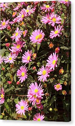 Brachyscome 'strawberry Pink' Canvas Print by Adrian Thomas