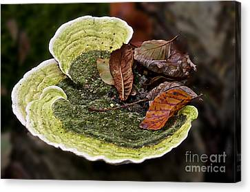 Bracket Fungi  Canvas Print by David  Hollingworth