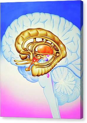 Brain's Limbic System Canvas Print by John Bavosi