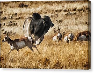 Brahma Bull Meets The Pronghorn Canvas Print by Priscilla Burgers