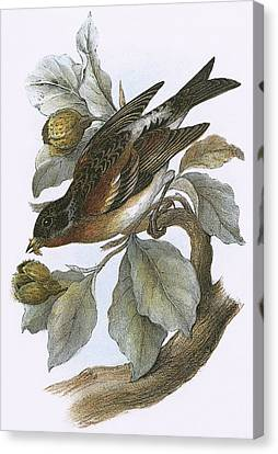 Brambling Canvas Print by English School