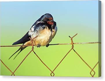 Hirundo Canvas Print - Bran Swallow On A Fence by Bildagentur-online/mcphoto-schaef