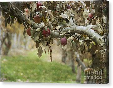 Branch Of An Apple Tree Canvas Print