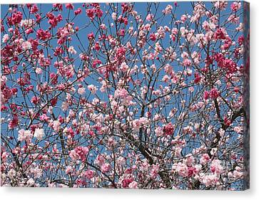 Branches And Blossoms Canvas Print by Carol Groenen