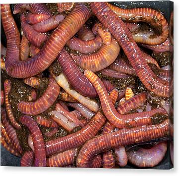 Brandling Worms Or Red Worms Canvas Print by Nigel Downer