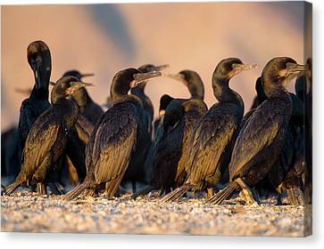 Phalacrocorax Auritus Canvas Print - Brandt's Cormorants by Christopher Swann
