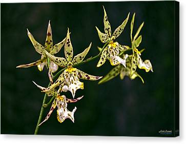 Canvas Print featuring the photograph Brassidium Orchids by Aloha Art