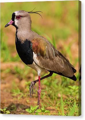 Brazil A Southern Lapwing (vanellus Canvas Print