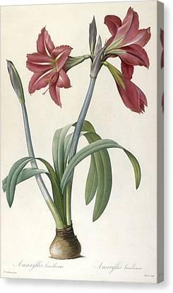 Brazilian Amaryllis Canvas Print by Pierre Joseph Redoute
