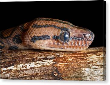 Canvas Print featuring the photograph Brazilian Rainbow Boa Epicrates Cenchria by David Kenny