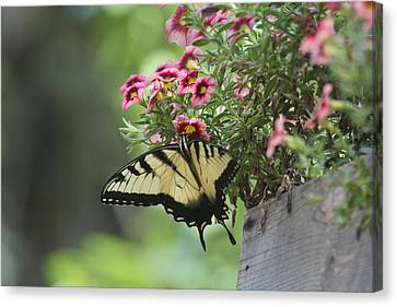 Breakfast At The Windowbox Canvas Print by Robert Camp