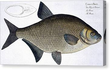 Bream Canvas Print by Andreas Ludwig Kruger