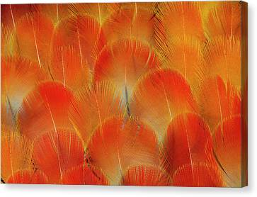 Breast Feathers Of The Camelot Macaw Canvas Print by Darrell Gulin