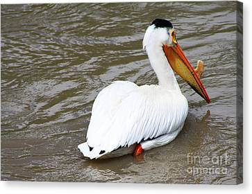 Breeding Plumage Canvas Print by Alyce Taylor