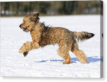 Briard Running In Snow Canvas Print by John Daniels