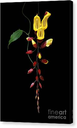 Brick And Butter Vine Canvas Print by Judy Whitton