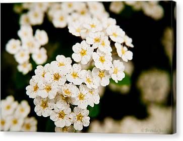Bridal Veil Spirea Canvas Print