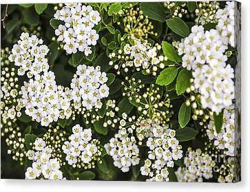 Bridal Wreath Flowers Canvas Print